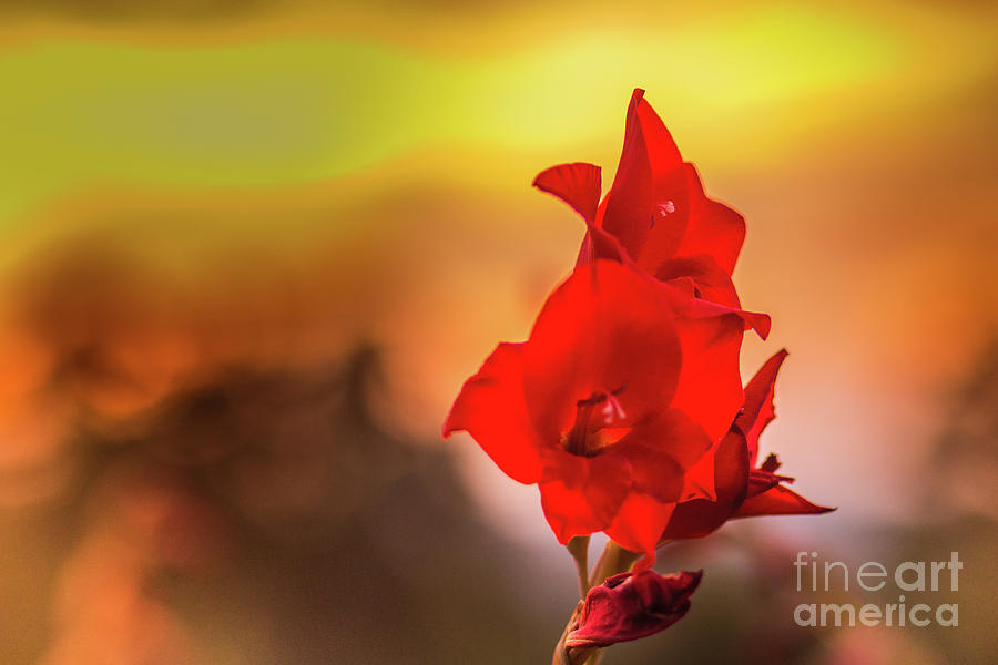 Red Gladiolus with a Fiery Sky by Lisa Lemmons-Powers