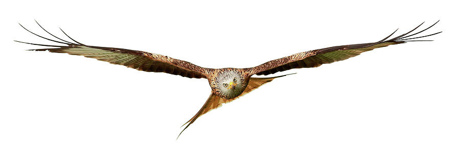 Red Kite - Bird of Prey in flight by Grant Glendinning