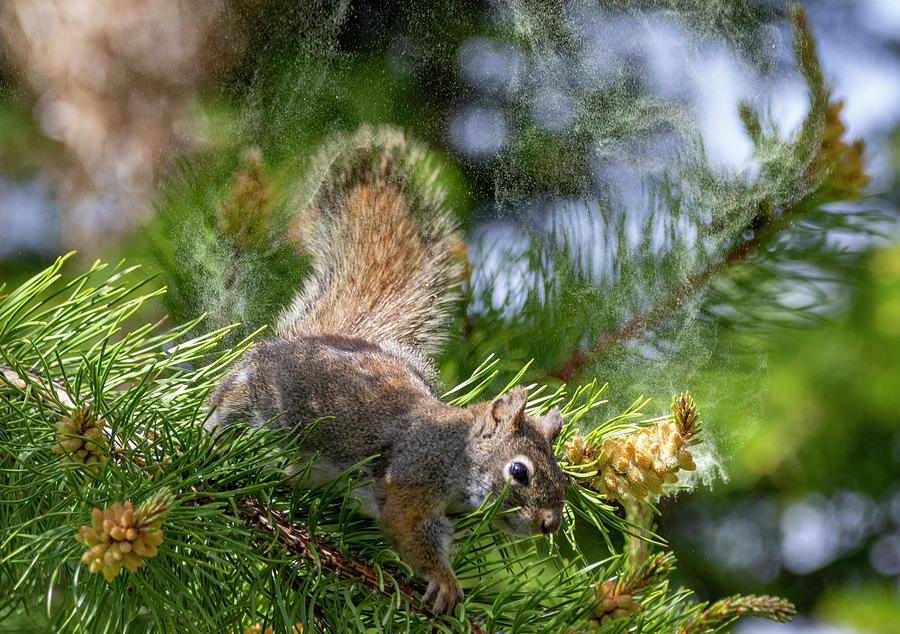 Red Squirrel by Michael Chatt