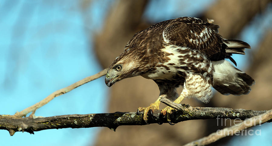 Red Tailed Hawk perched by Sam Rino