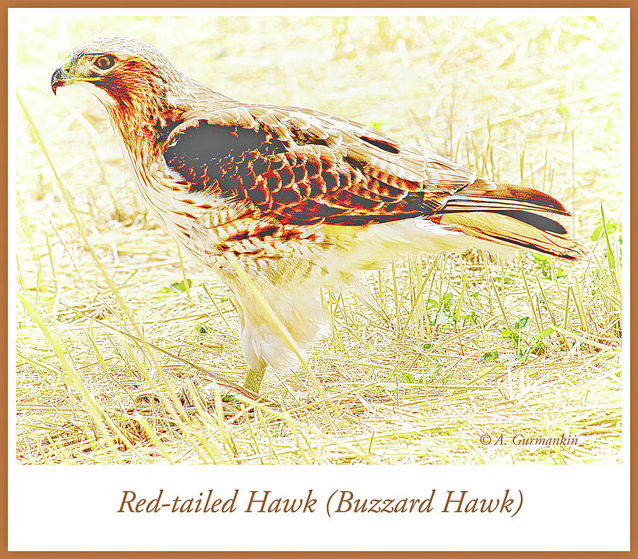 Redtailed Hawk in a Field by A Gurmankin
