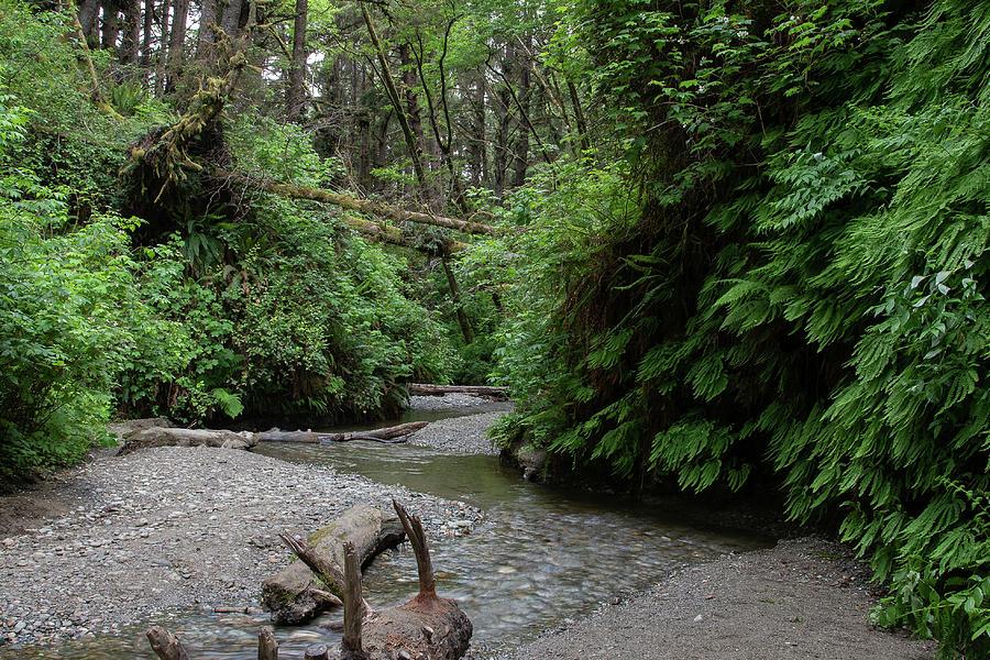 1 Redwoods Fern Grove N. California  by Phyllis Spoor