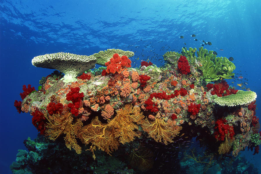 Reef Scenic Of Hard Corals , Soft Photograph by Comstock