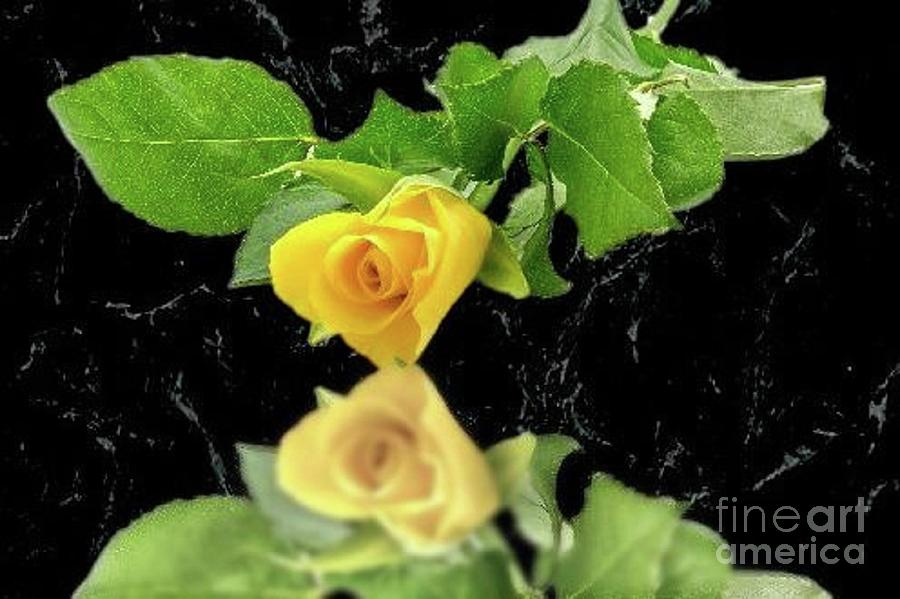 Reflection of the Yellow Rose of Texas by Janette Boyd