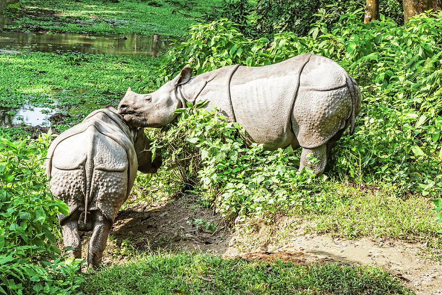 Rhinos In Chitwan National Park In Nepal Photograph