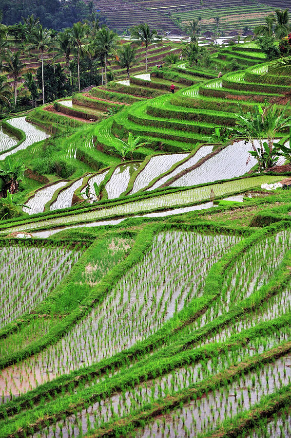 Rice Terrace In Bali Photograph by Nora Carol Photography