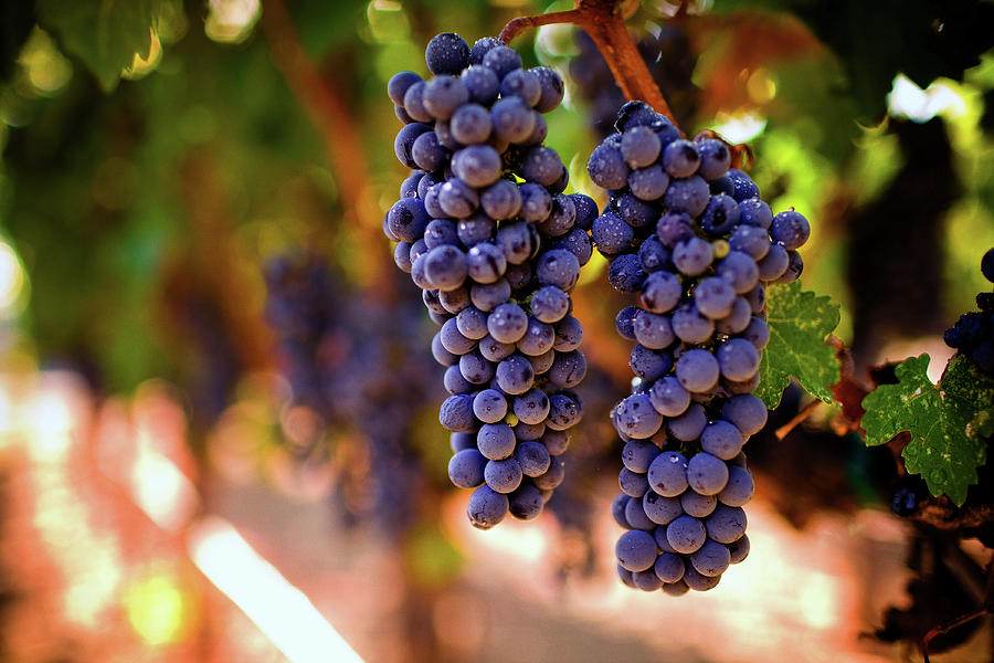 Ripe Grapes Photograph by Thepalmer