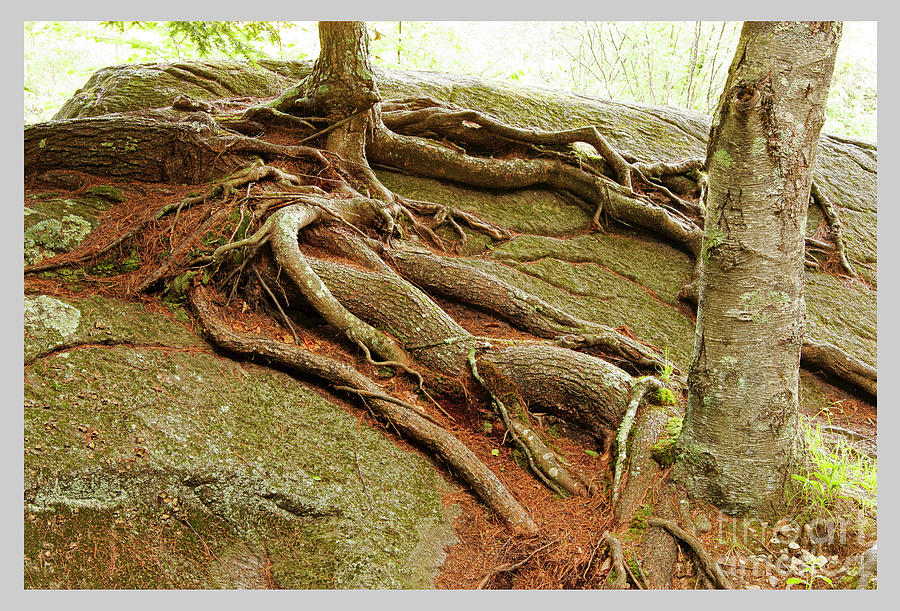 Roots on Rock by Tom Cameron