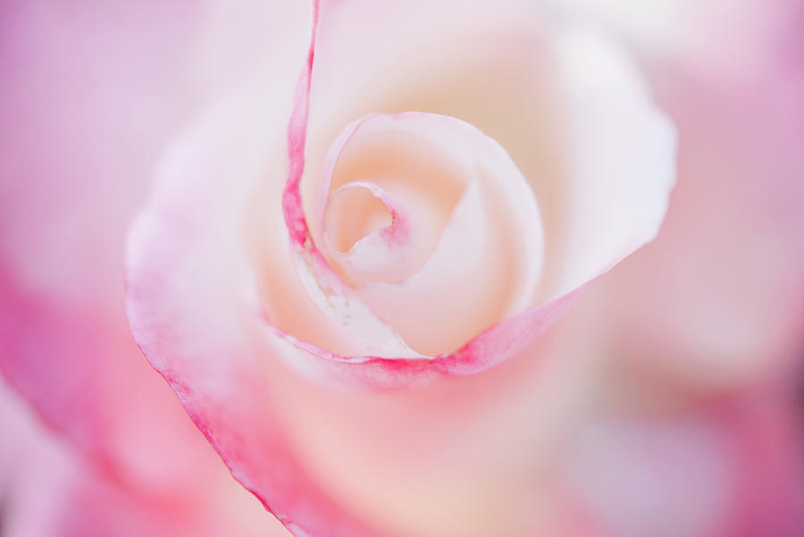 Rose-Crescendo by Johanna Froese