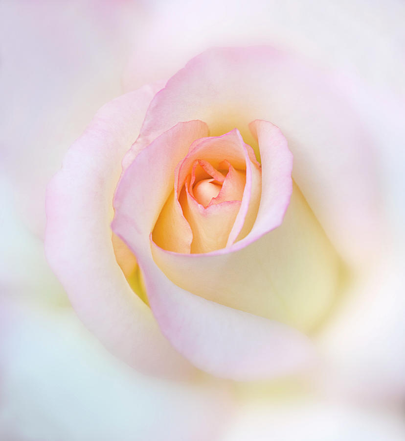Rose Photograph by Diane Miller