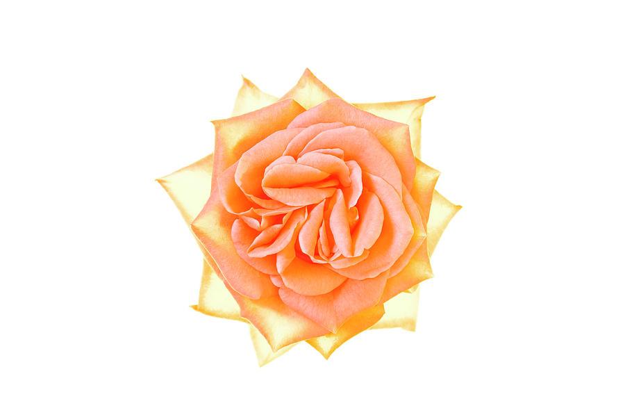 Rose Flower Photograph by Nicholas Rigg