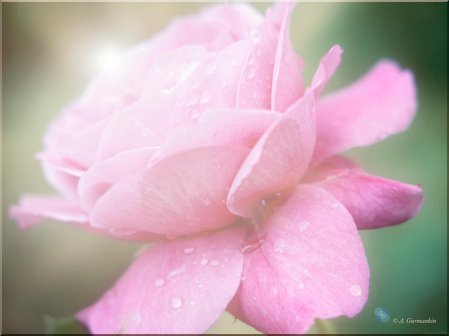 Rose in Full Bloom by A Gurmankin