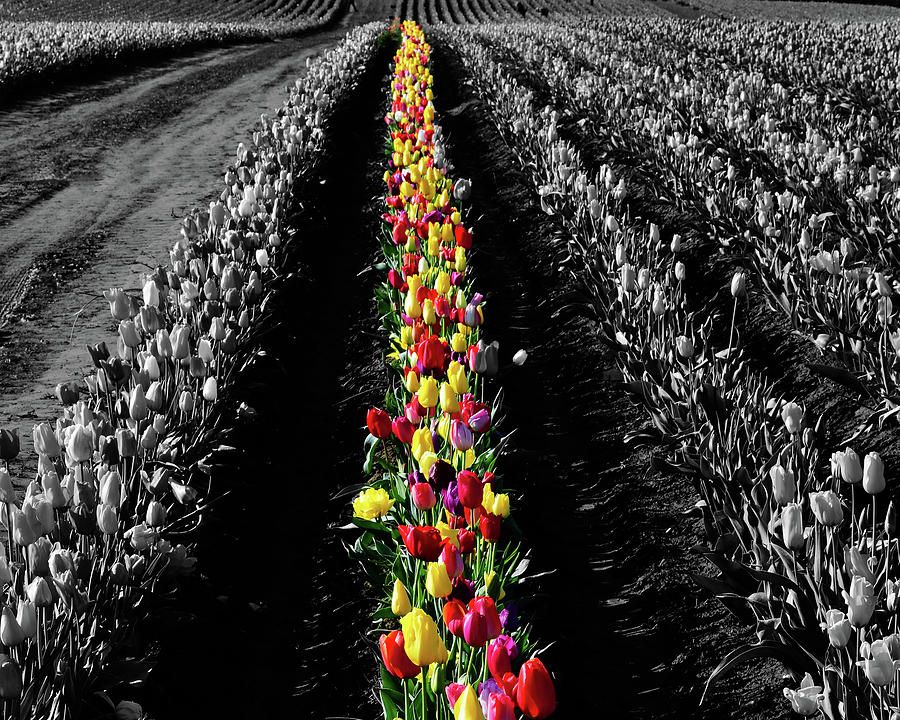 Tulips Photograph - Rows Of Tulips by Bonnie Bruno