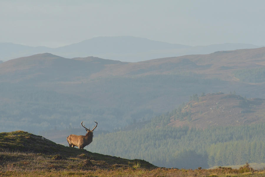 Royal Stag in the Highlands  by Gavin MacRae