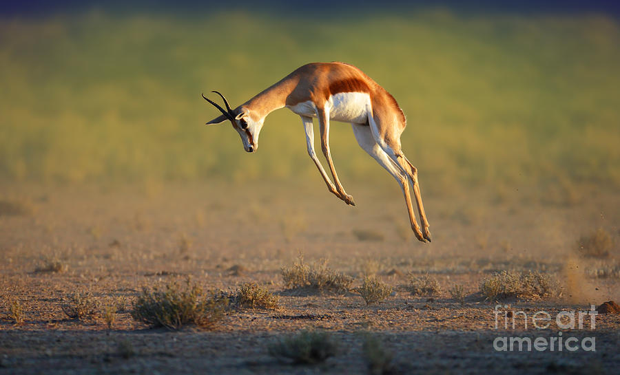 Plane Photograph - Running Springbok Jumping High - by Johan Swanepoel