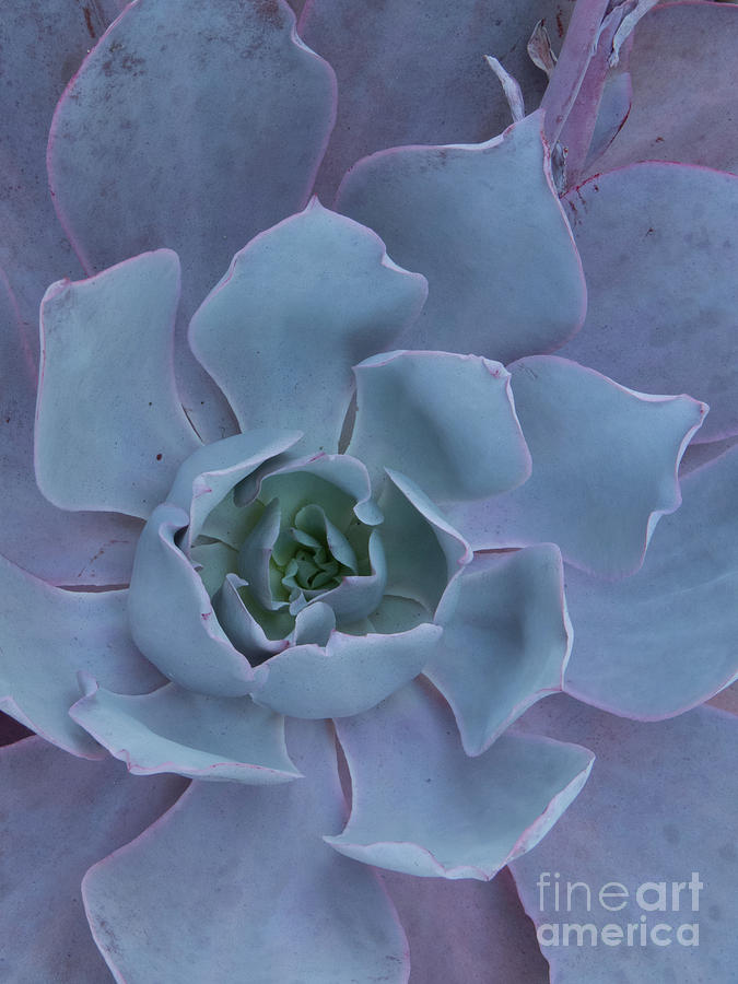 Sage Green Succulent  by Christy Garavetto