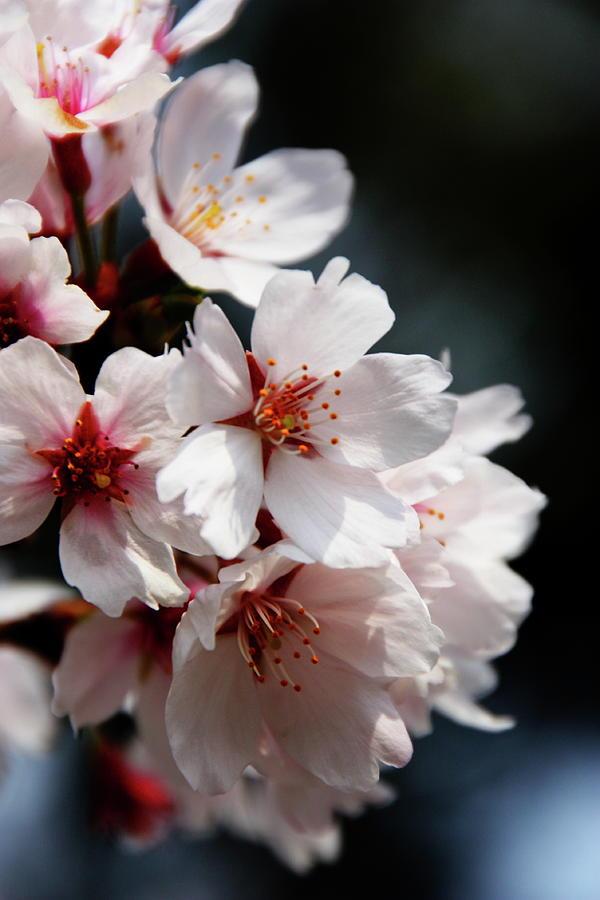 Sakura In Kyoto Photograph by Farzan Bilimoria