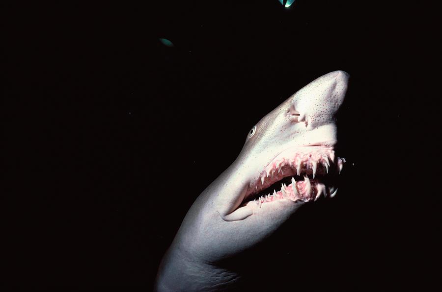 Sand Tiger Shark Photograph by Jeff Rotman