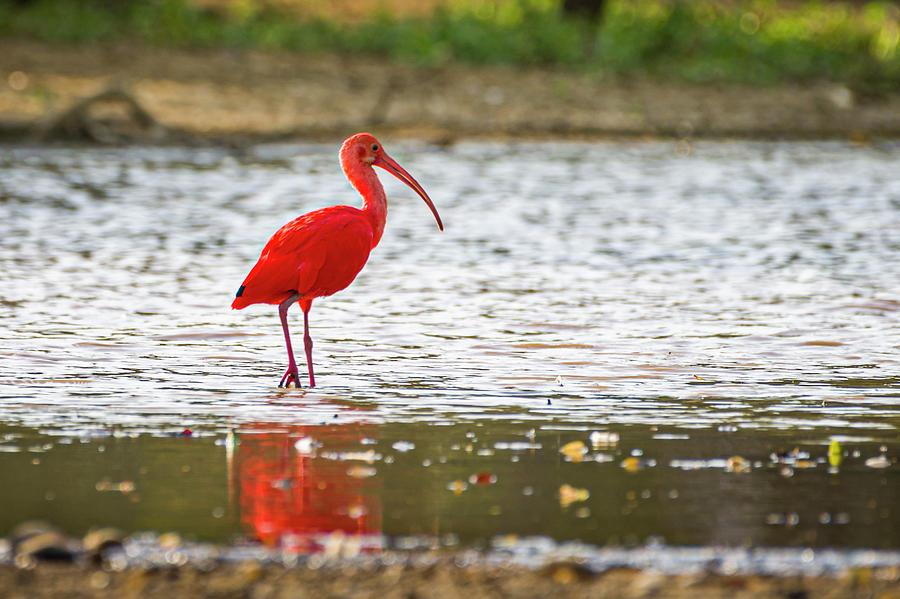 Scarlet Ibis Hato Berlin Casanare Colombia by Adam Rainoff