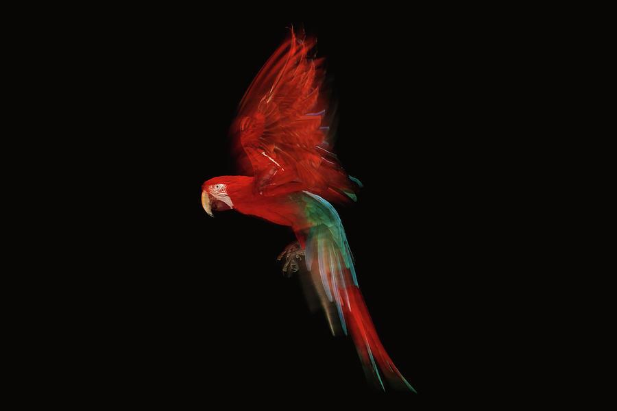 Scarlet Macaw Parrot In Flight Photograph by Tim Platt
