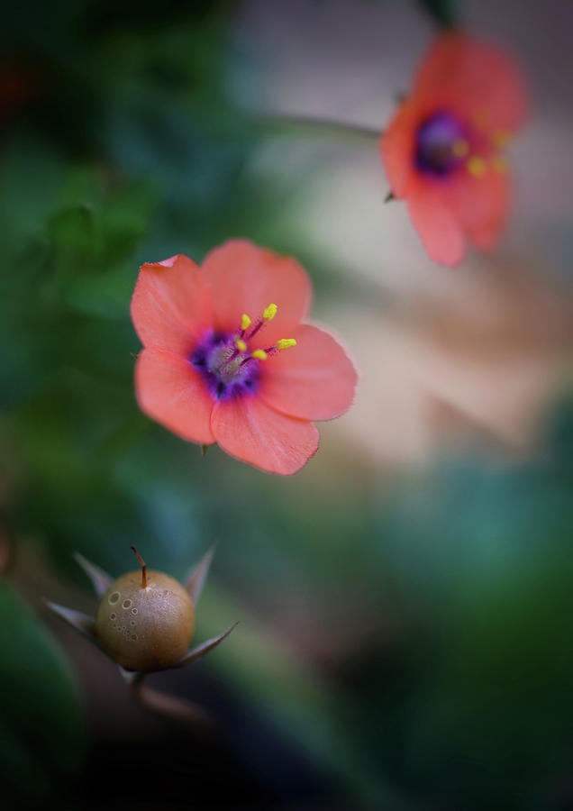 Scarlet Pimpernel by John Rodrigues