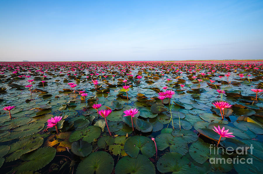 Small Photograph - Sea Of Red Lotus , Marsh Red Lotus by Mspt