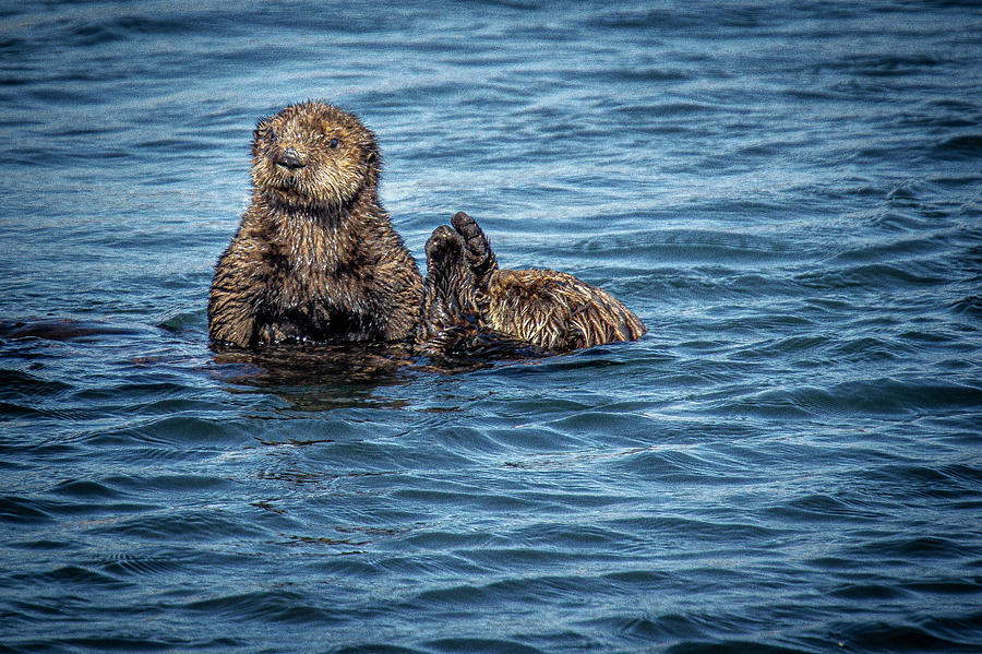 Sea Otter and Her Pup by Donald Pash