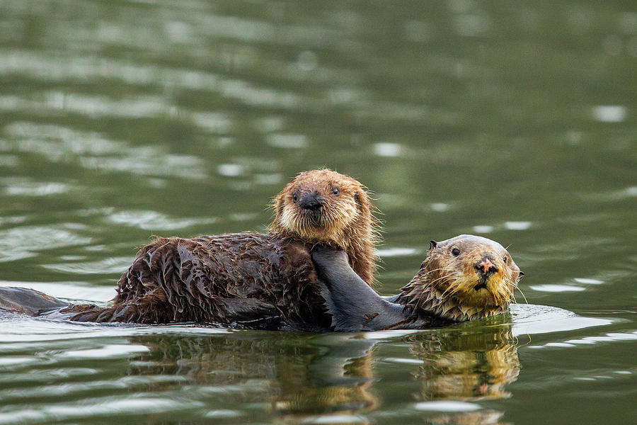 Sea Otter Mother Carrying Pup, Elkhorn Slough Photograph by Sebastian Kennerknecht