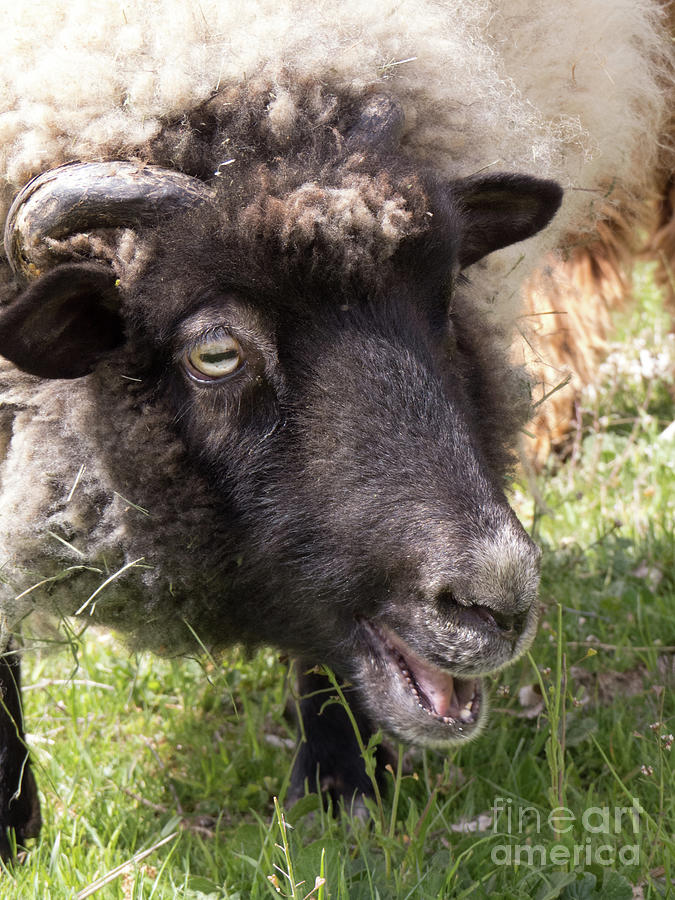 Sheep Face 3 by Christy Garavetto