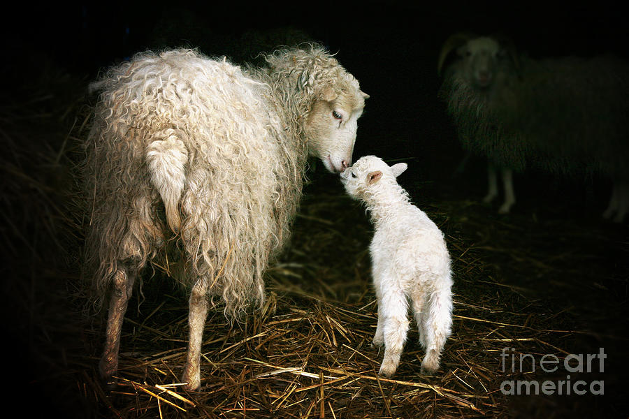 Offspring Photograph - Sheep With A Lamb Standing In The by Katarzyna Mazurowska