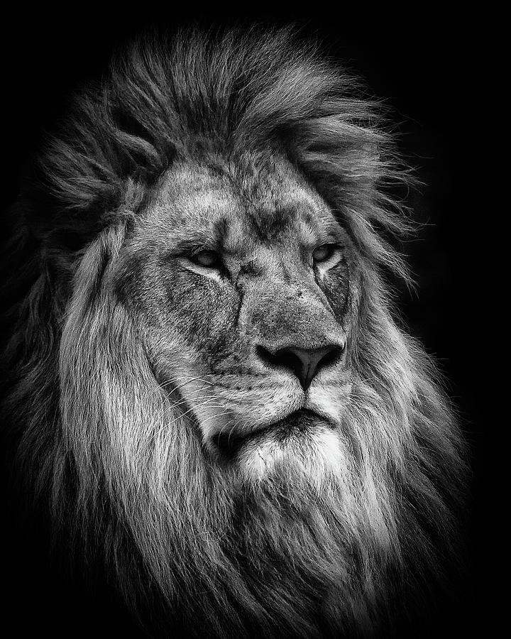 Silver Lion by Chris Boulton