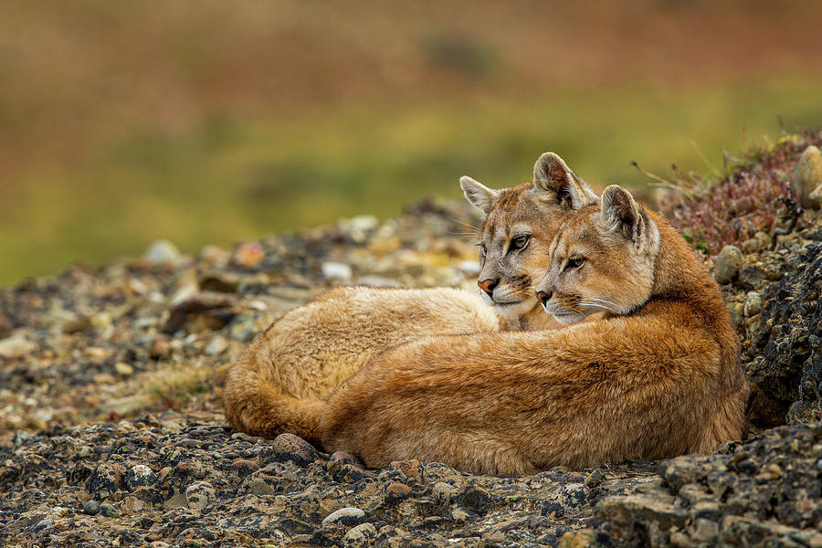 Six Month Old Mountain Lions, Patagonia Photograph by Sebastian Kennerknecht