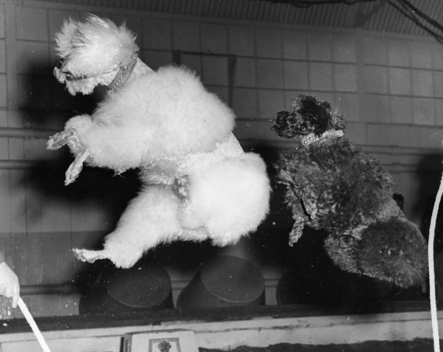 Skipping Poodles Photograph by Ron Case