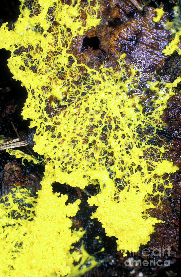 Protist Photograph - Slime Mould by Dr Keith Wheeler/science Photo Library