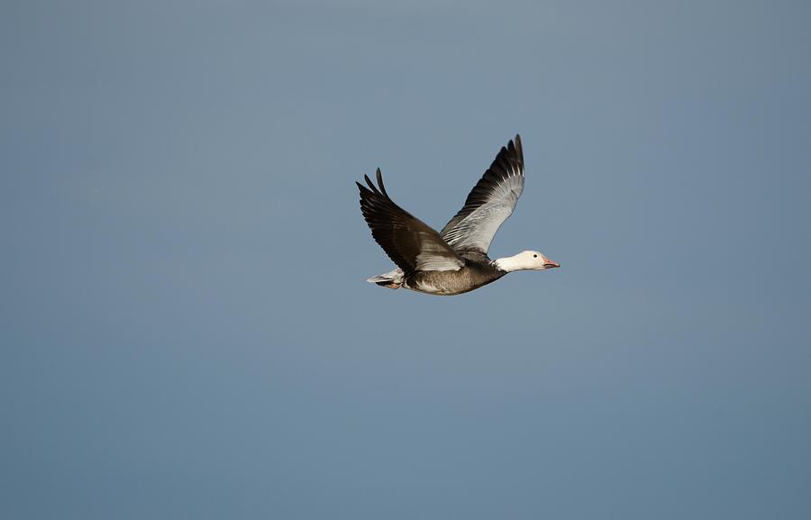 Snow Goose Photograph