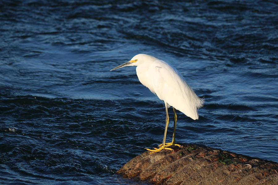 Snowy Egret by Christy Pooschke