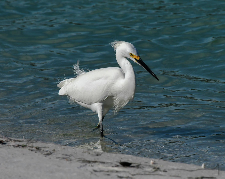 Snowy Egret by Ken Stampfer
