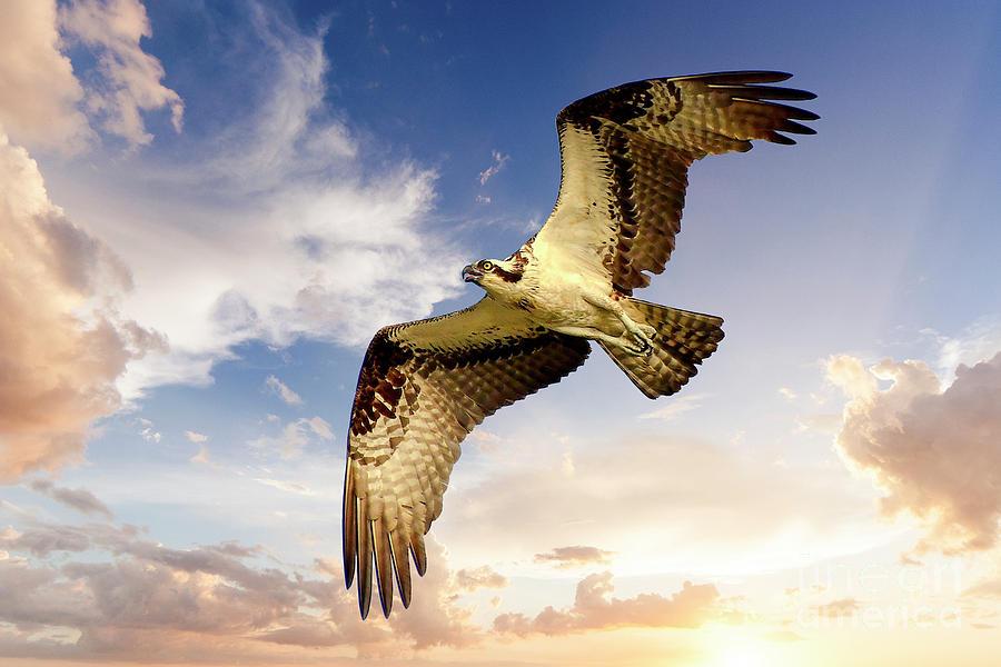 Soaring Osprey by Kathy Baccari