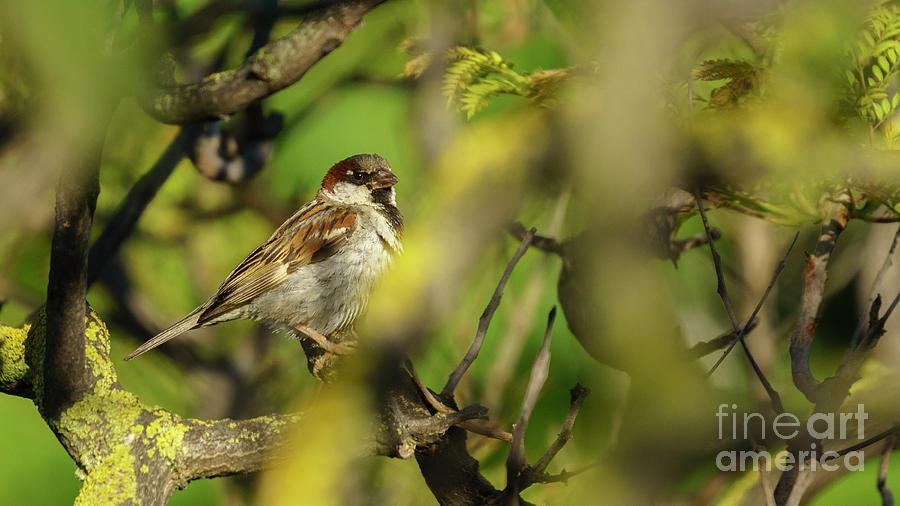Spanish Sparrow Percehd on a Tree by Pablo Avanzini