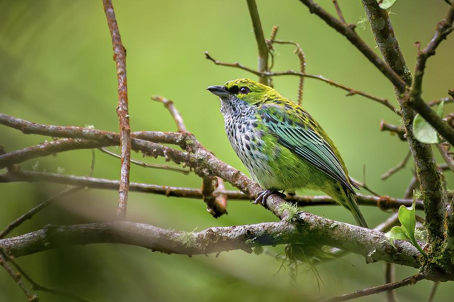Speckled Tanager Fincas Verdes San Antonio Tolima Colombia by Adam Rainoff