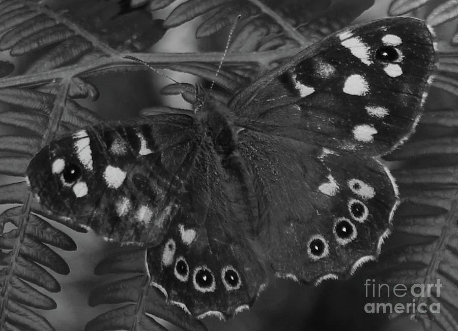Speckled Wood Butterfly bw Donegal by Eddie Barron
