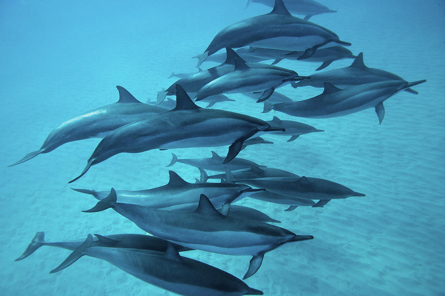 Spinner Dolphins Photograph by M Swiet Productions