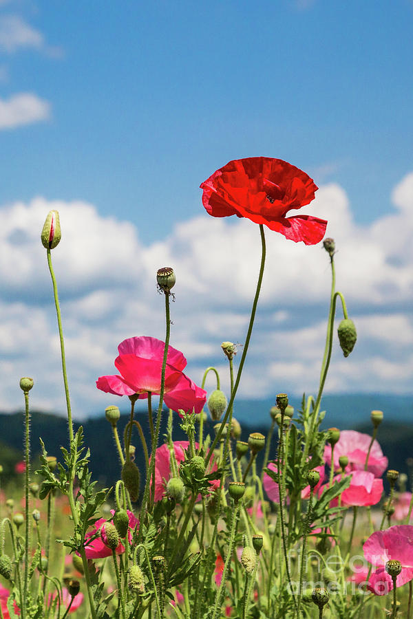 Spring Poppies by Lisa Lemmons-Powers