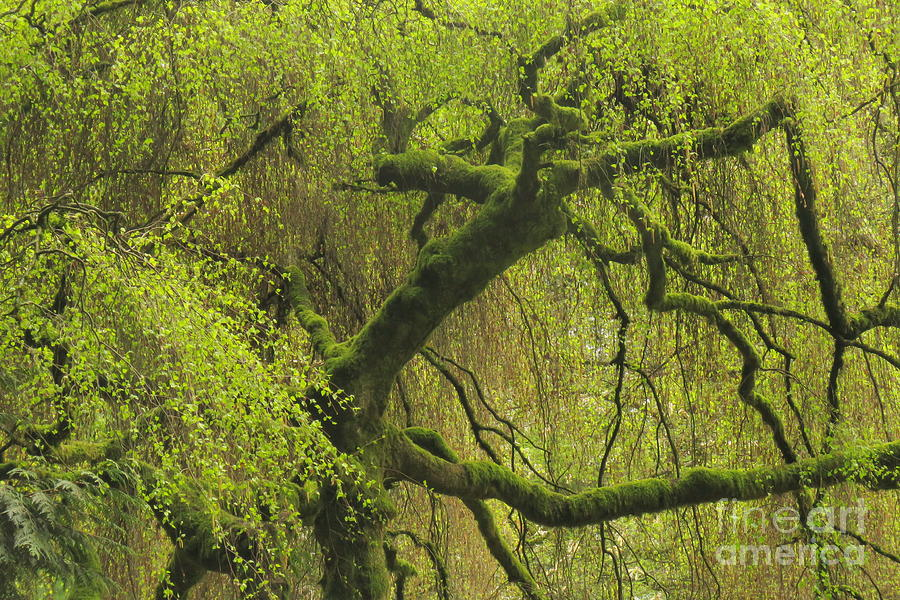 Spring Willow by Frank Townsley