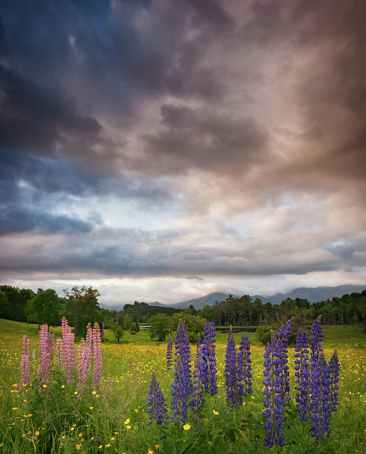 Springtime and Lupines by Darylann Leonard Photography