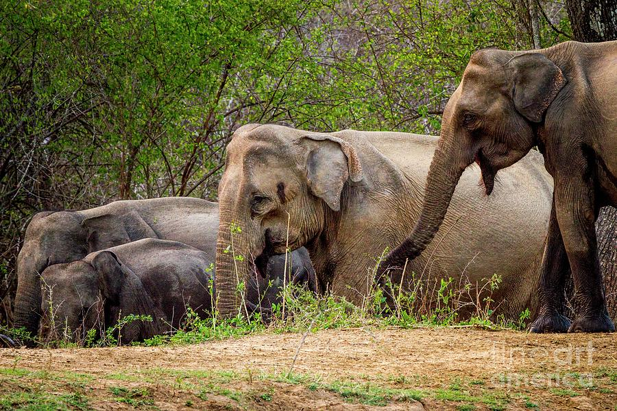 Yala National Park Photograph - Sri Lankan Elephants Drinking by Paul Williams/science Photo Library