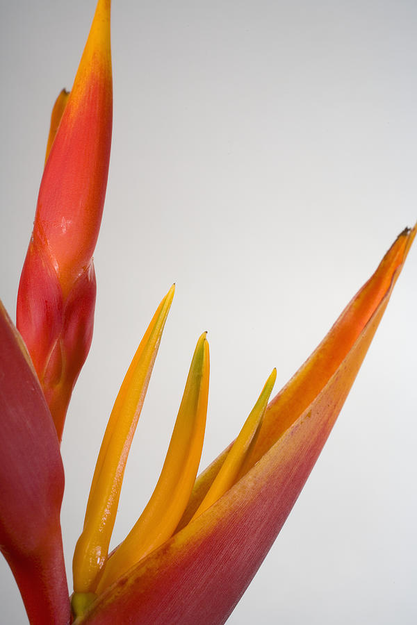 Studio Shot Of Orange And Red Heliconia Photograph by Design Pics/tomas Del Amo
