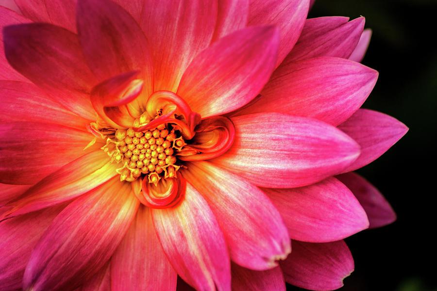 Stunning Dahlia by Don Johnson