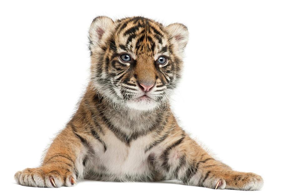 Sumatran Tiger Cub - Panthera Tigris Photograph by Life On White