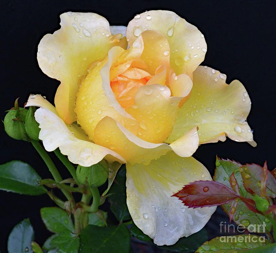 Elegant Gold Struck Rose Photograph